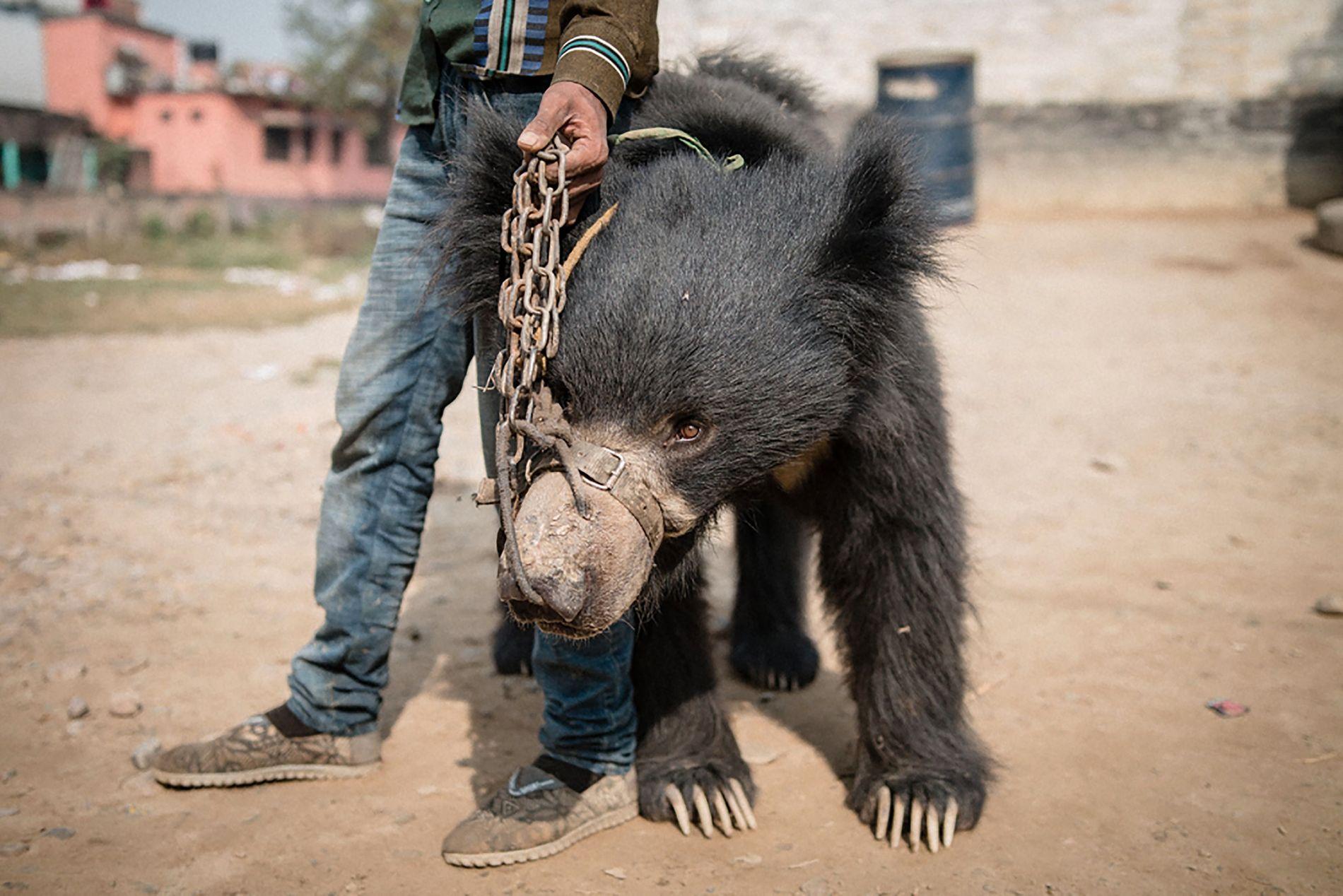 REDDET: Her er en av bjørnene som som ble løslatt fra fangenskapet denne uken. Dette er en av de aller siste dansende bjørnene i Nepal.