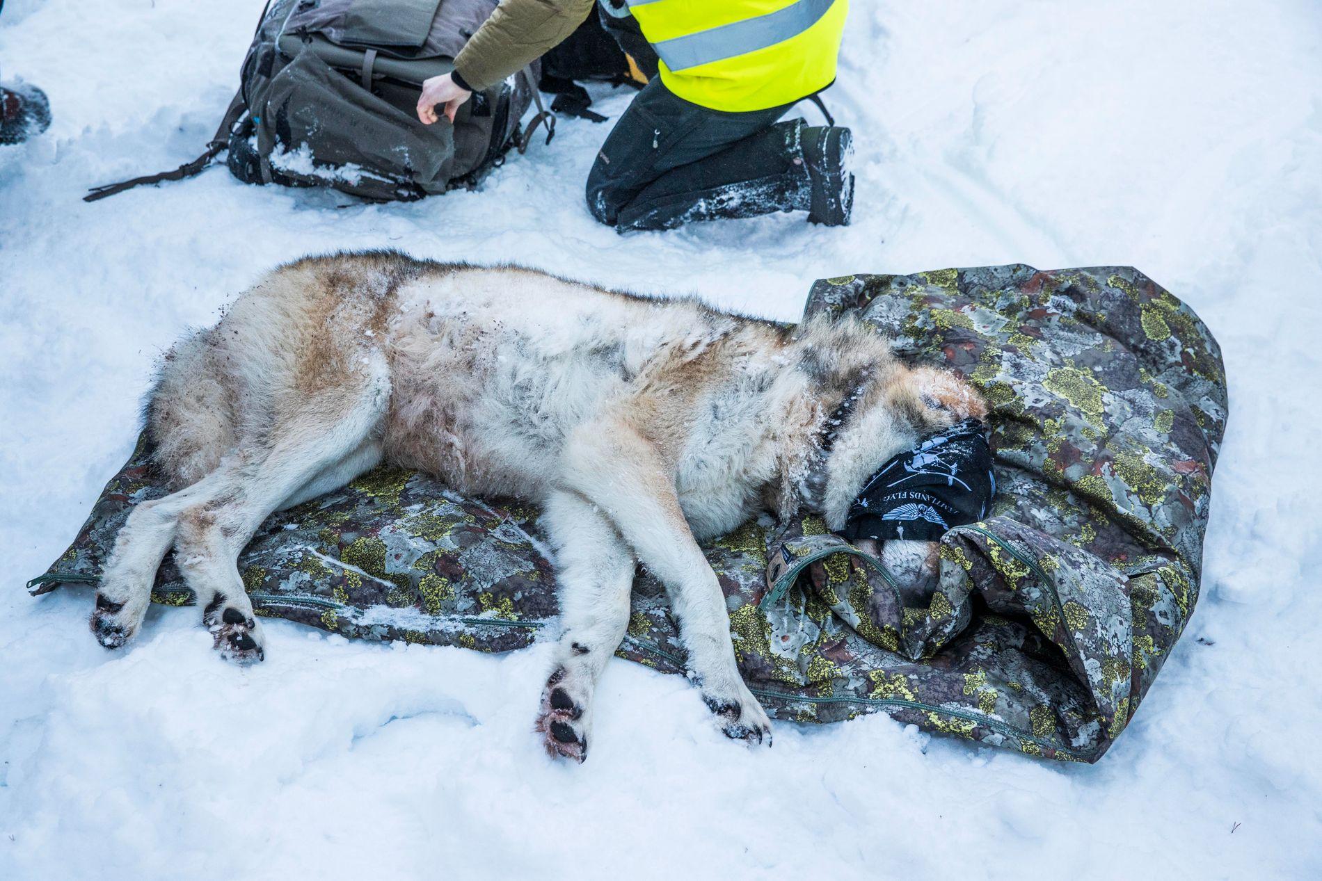 BEDØVET: Her merkes Slettås-hannen i januar 2017. Området ligger innenfor ulvesonen.