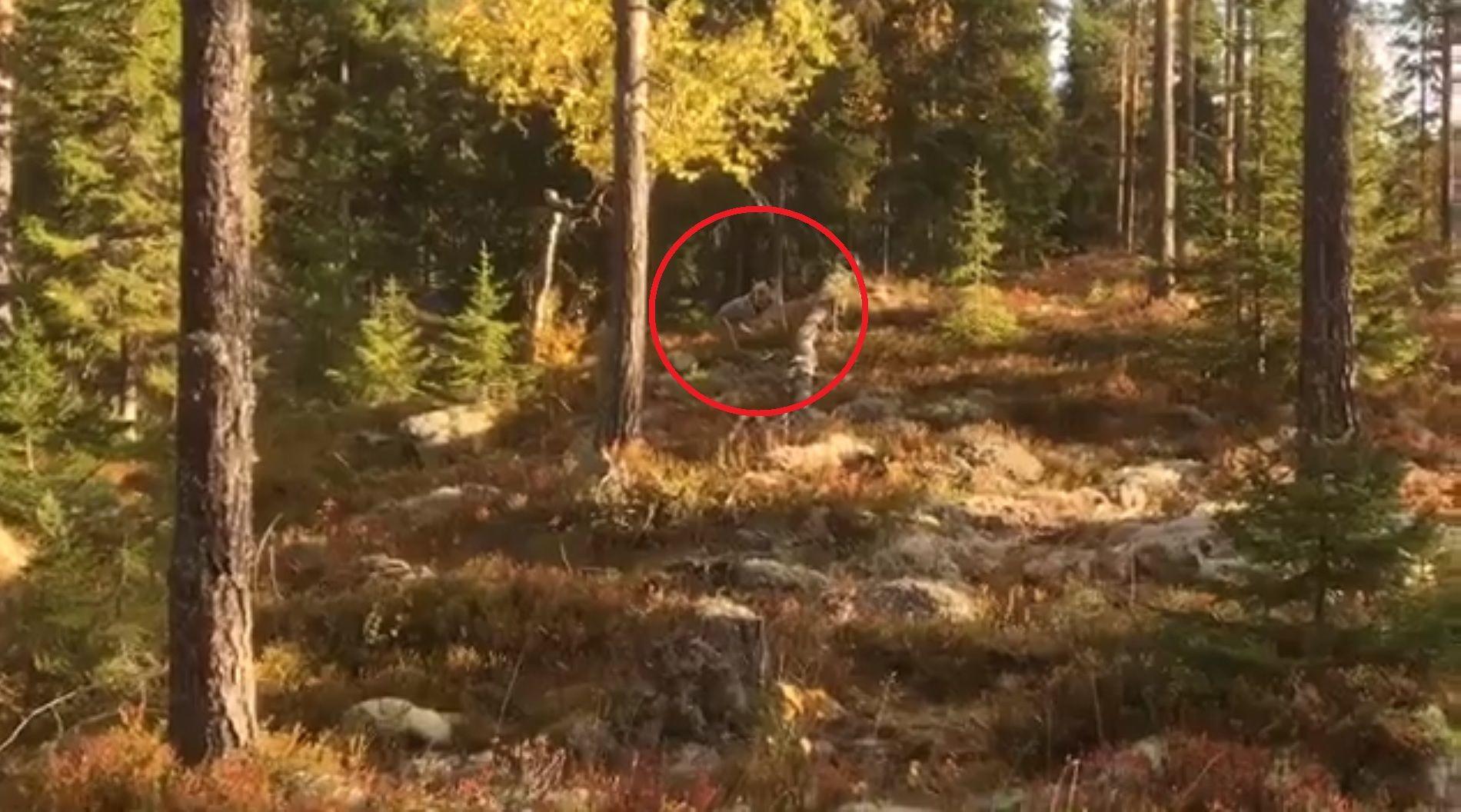 NATUROPPLEVELSE: Bjørnemøtet fant sted i Ljørdalen i Trysil i Hedmark for to uker siden.