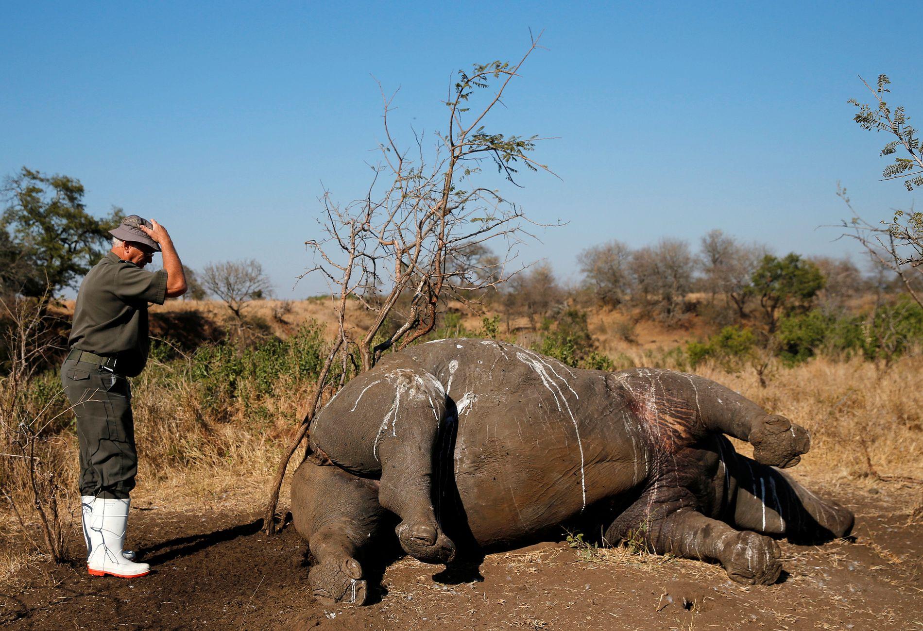 SISTE HILSEN: En parkvokter i nasjonalparken Kruger i Sør-Afrika gir et neshorn skutt av snikskyttere i august 2014 en siste hilsen.