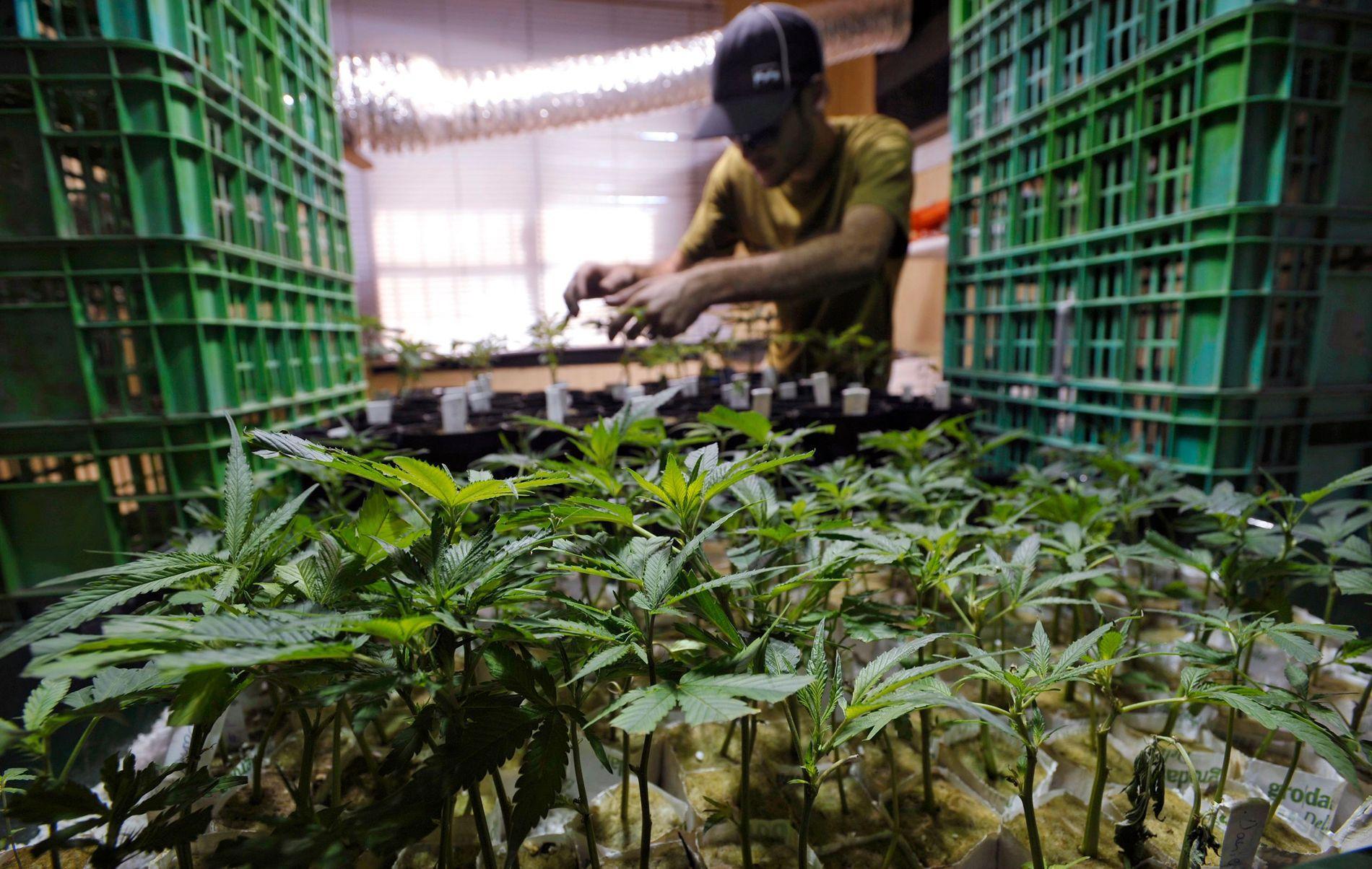 DRIVHUS: Et femtitalls selskaper i Israel produserer marihuana i drivhus som dette i byen Ashkelon.