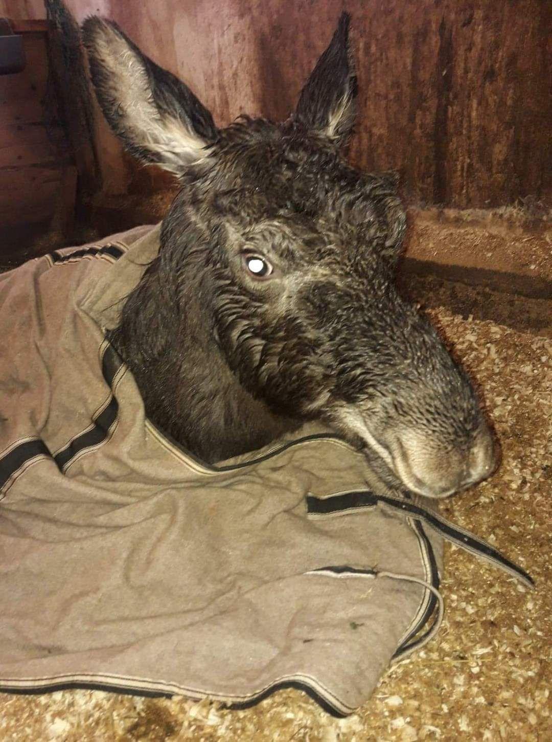I STALLEN: Her er elgkalven i stallen til Anett Adriansen og Jan Atle Setså. Han var sterkt nedkjølt og klarte ikke overleve.