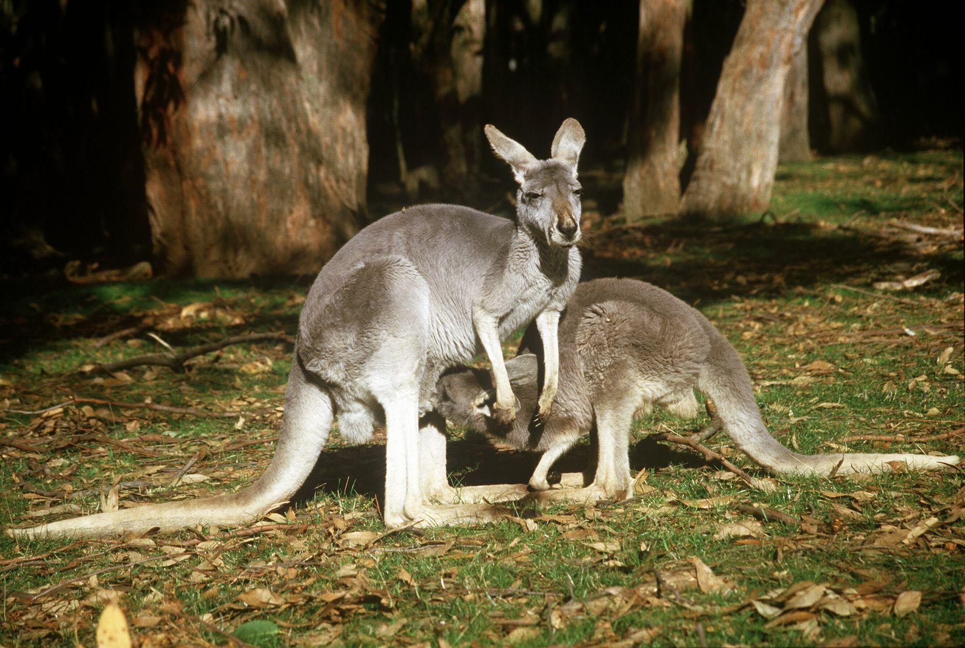 NATURLIG: Her kenguruer i sitt naturlige habitat, i Australia. Nå er altså en artsfrende savnet på Karmøy.